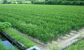 Dried Ginger Crop